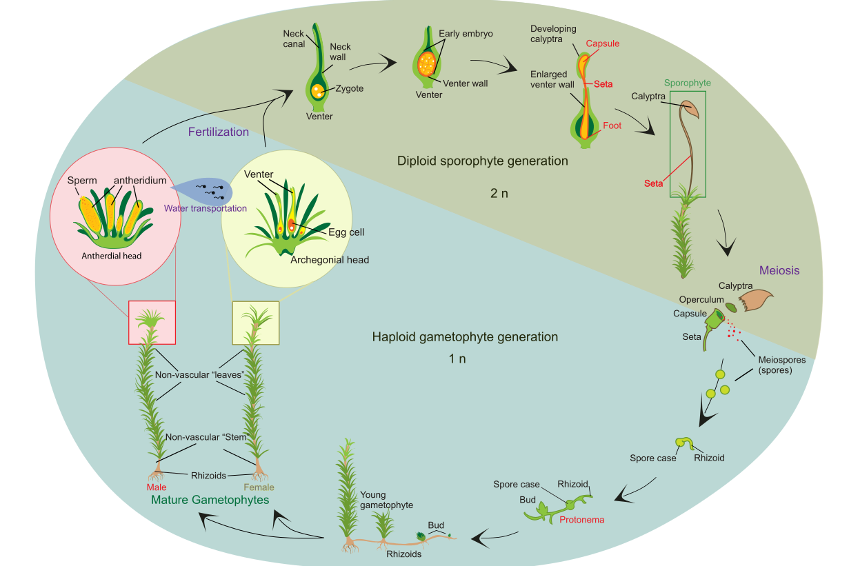life cycle of a typical moss (polytrichum commune)  adapted by eike st�bner  based on figure by ladyofhats (public domain, from wikimedia commons)